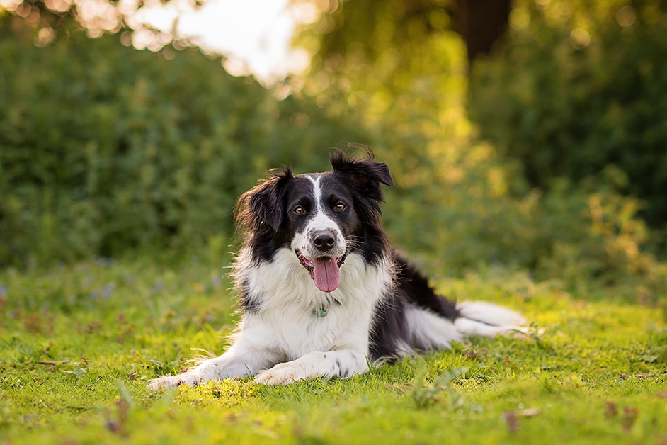 black-and-white-border-collie-sitting-in-field-in-Northampton