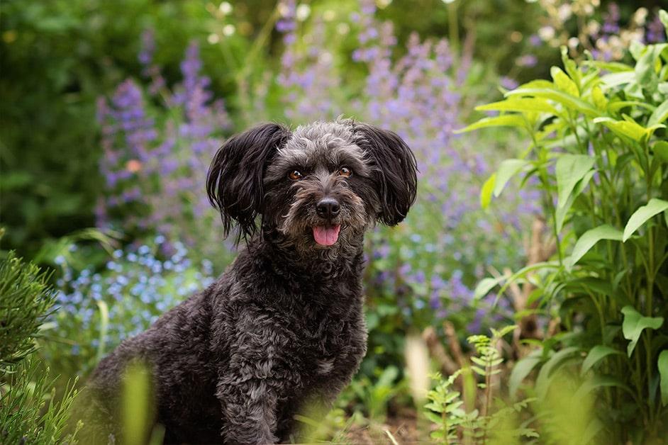 black-poodle-cross-breed-sitting-in-summer-garden-northampton