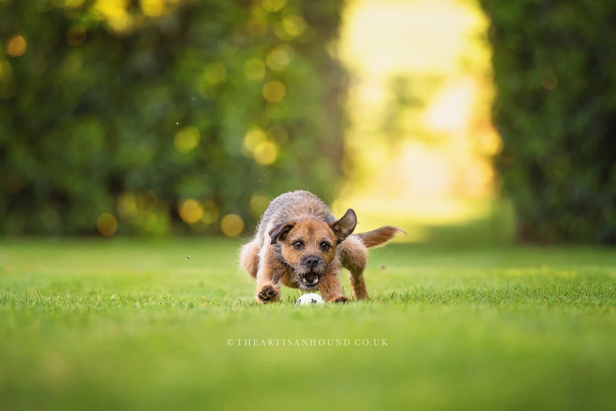 border-terrier-catching-ball-in-garden