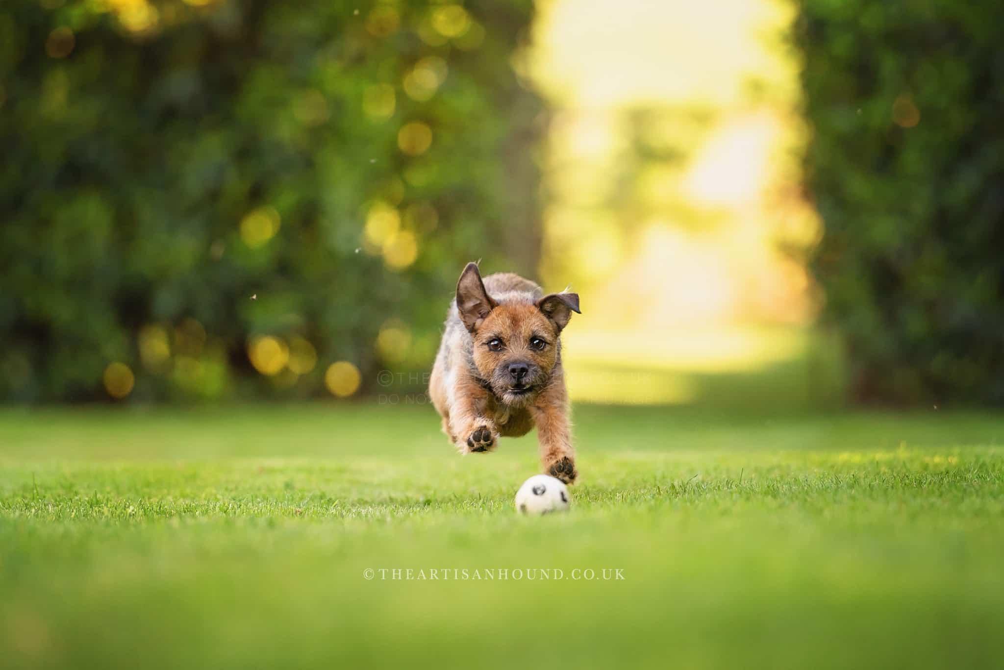 border-terrier-chasing-ball