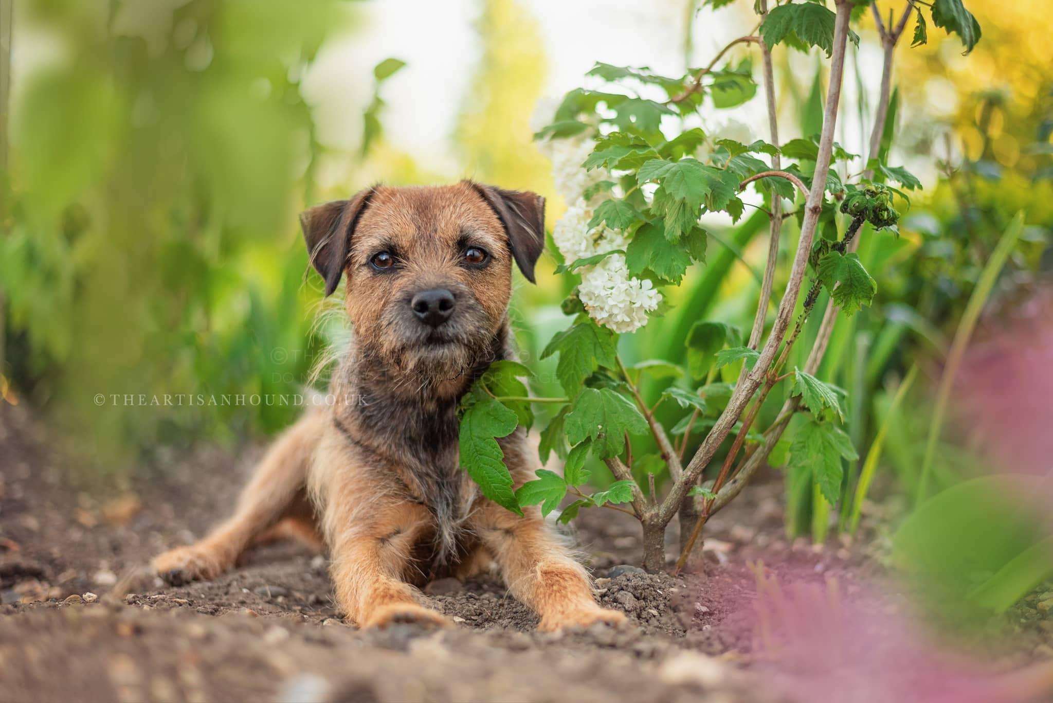 border-terrier-dog-lying-in-flowerbed