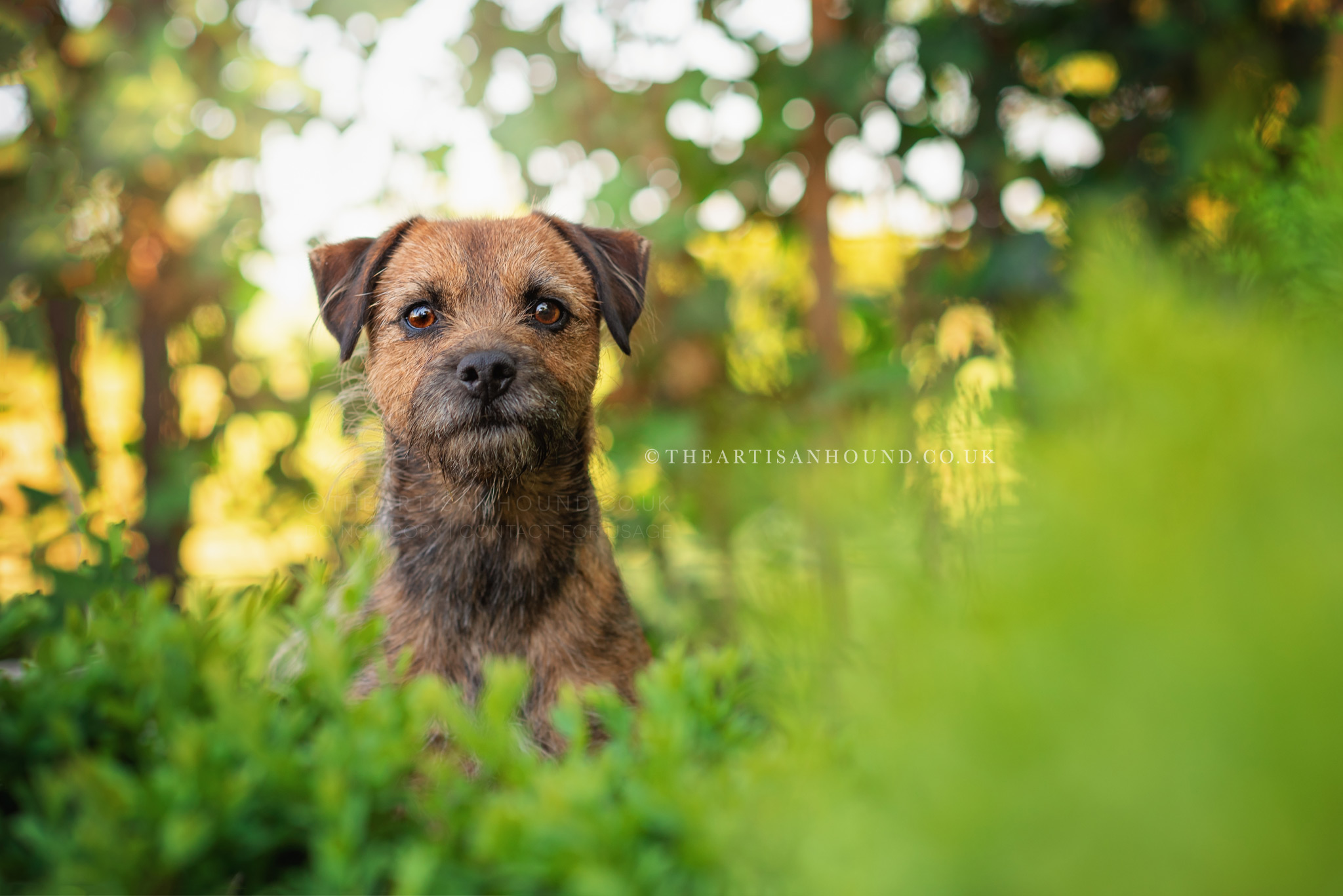 border terrier dog peeking out of bushes