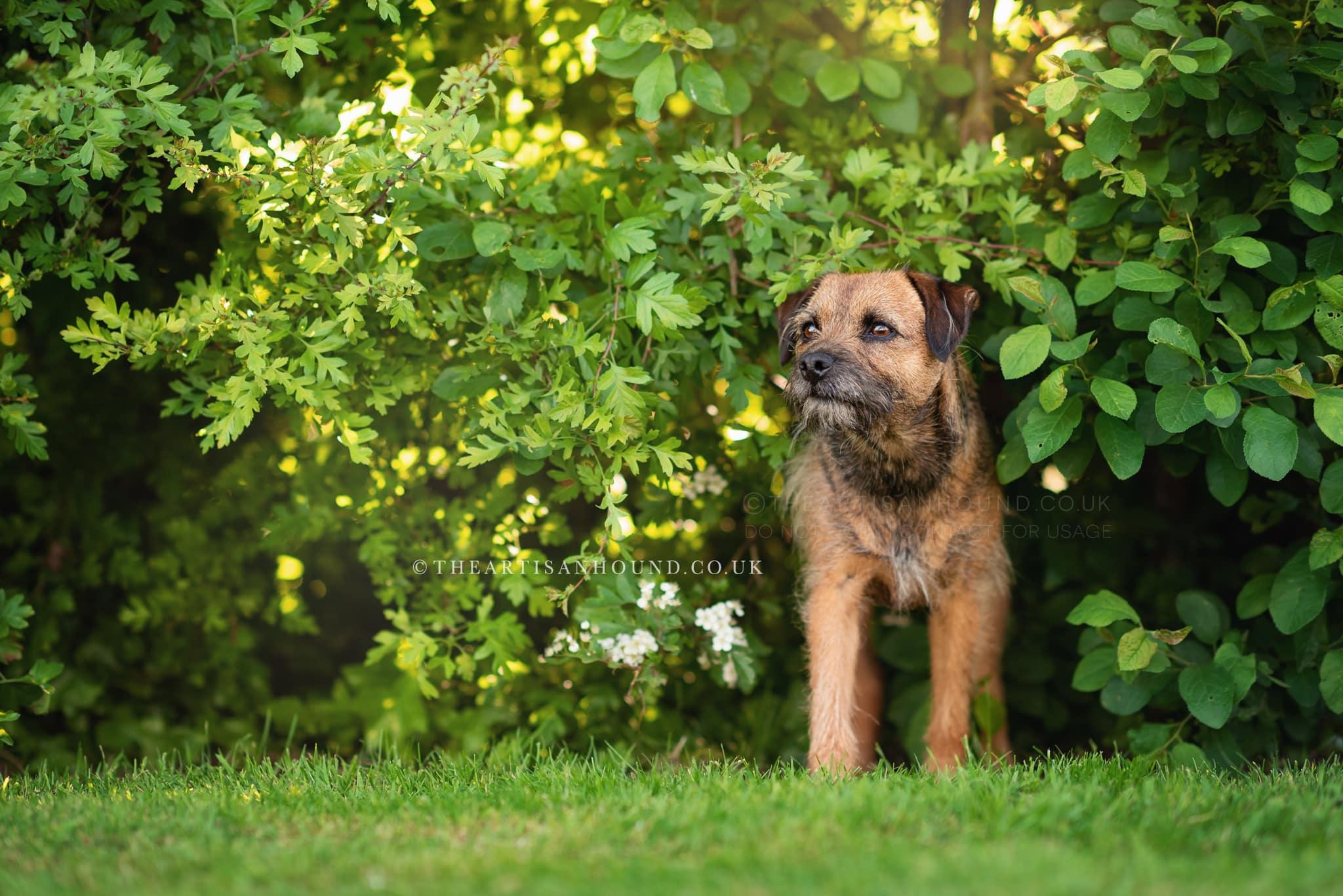 border-terrier-in-hedge-in-cambridgeshire