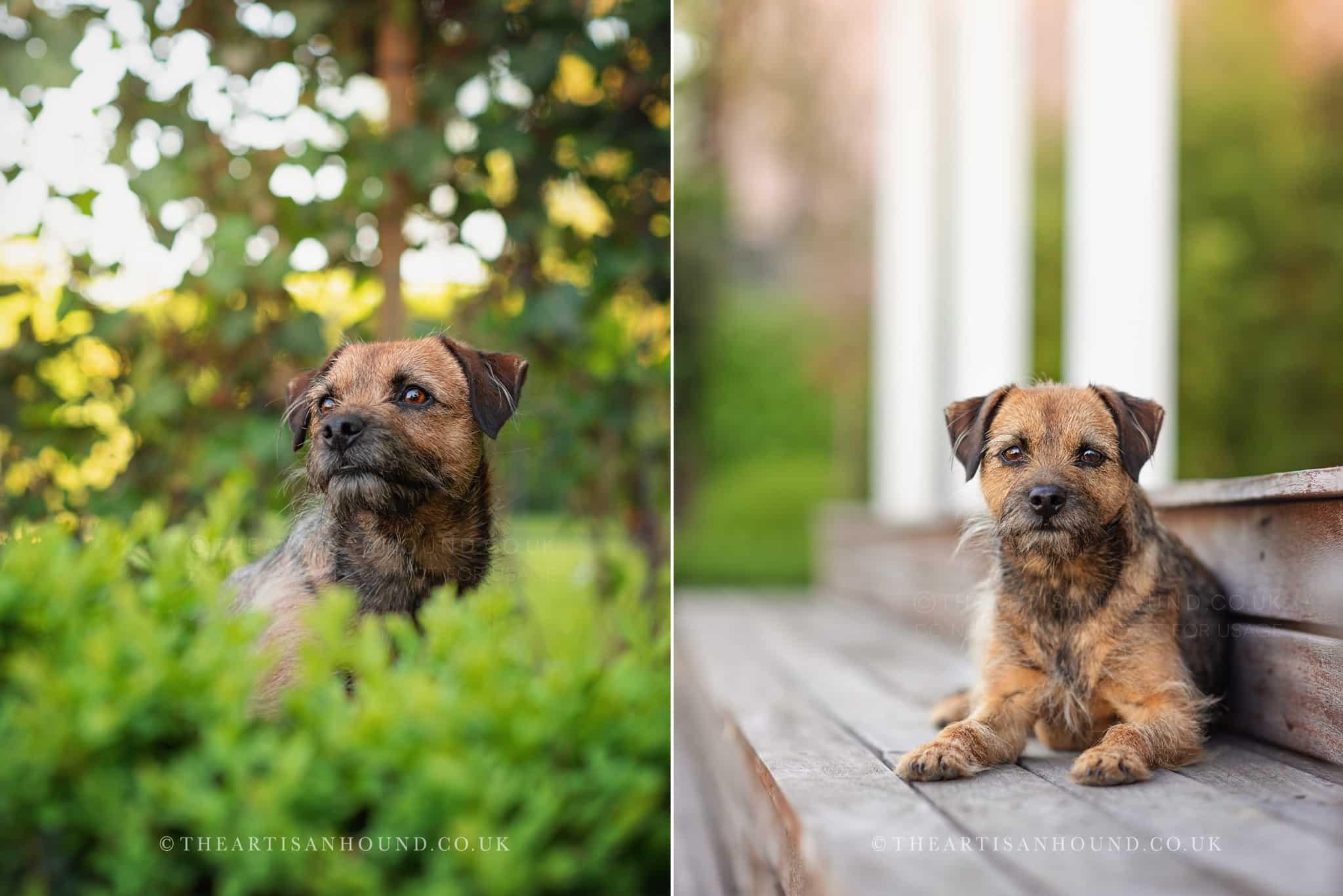 border terrier portrait photography Cambridge