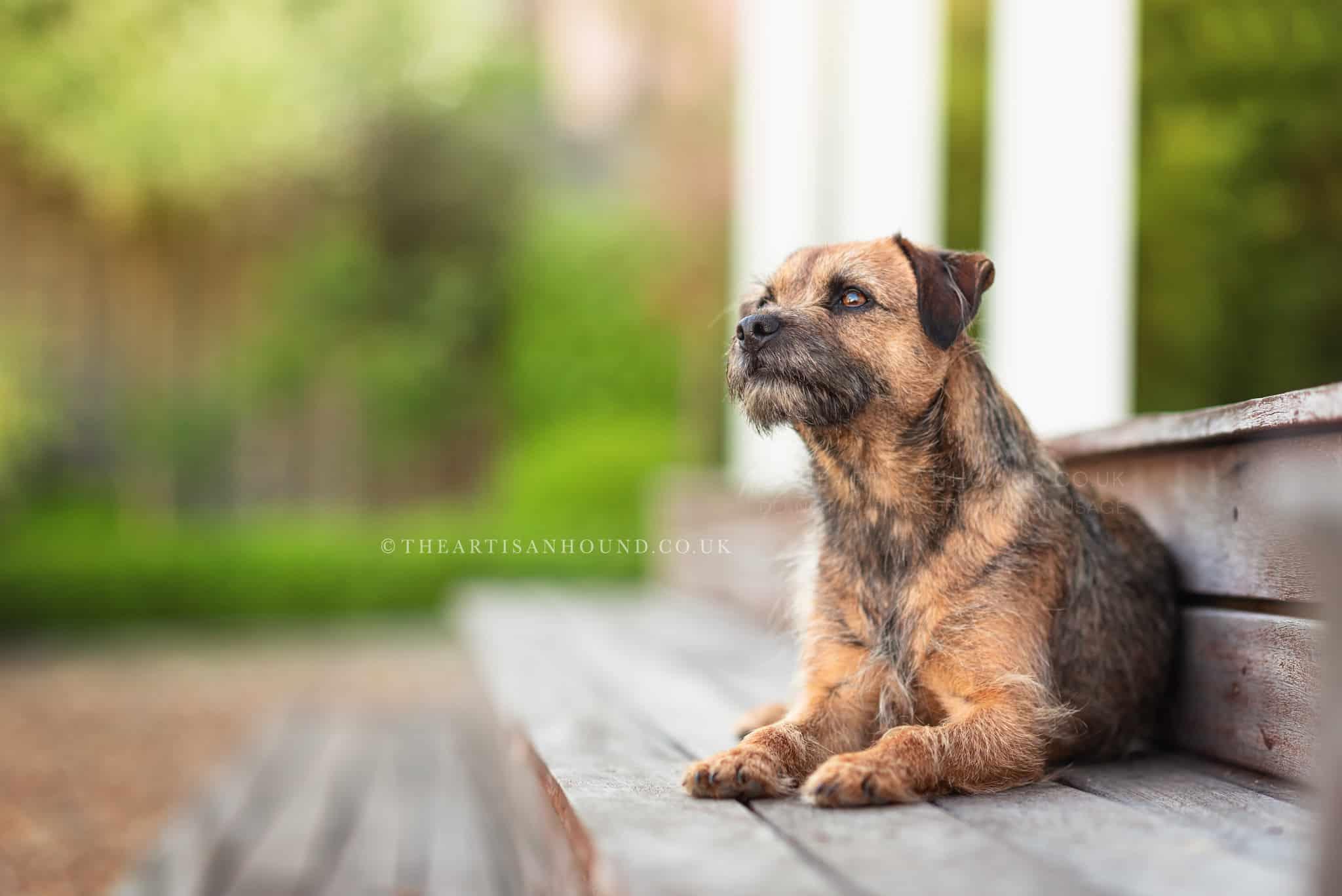 border terrier portrait photography