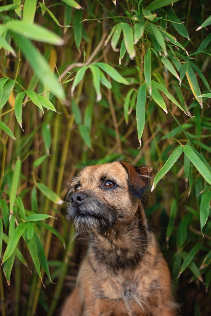 border terrier profile portrait in bamboo