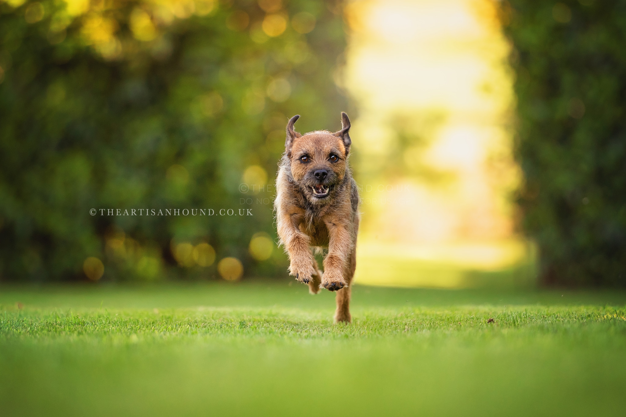 border terrier running across lawn