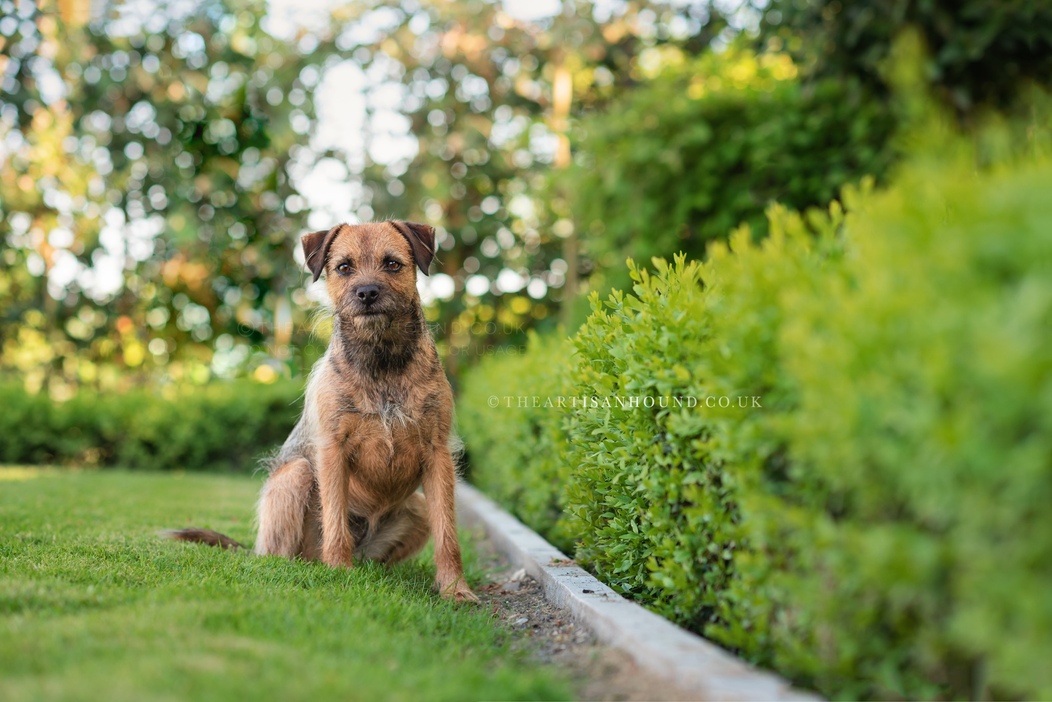 border-terrier-sitting-by-border-hedge