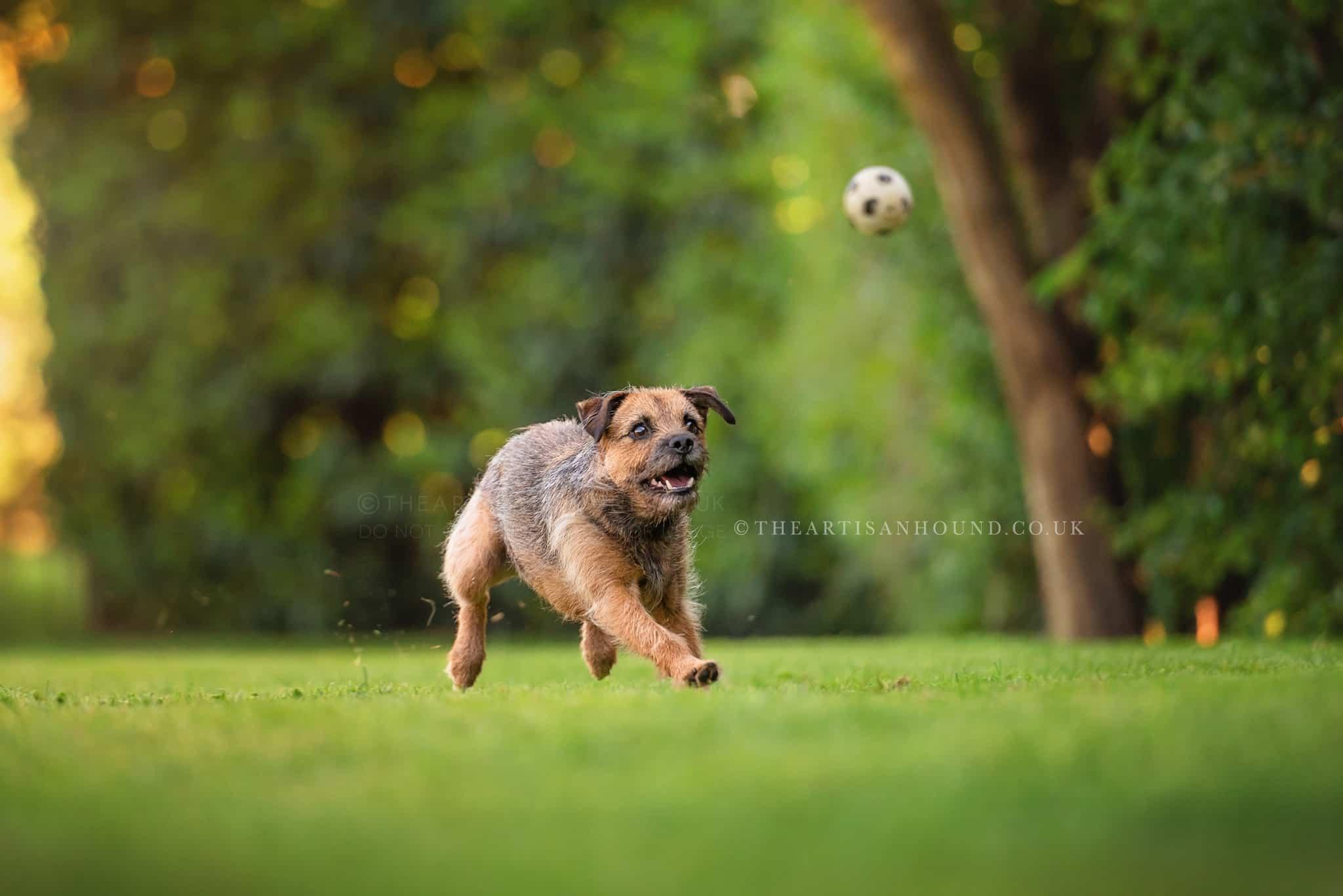dog-chasing-ball-in-garden