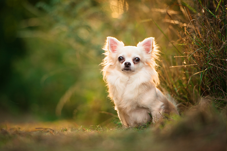 long-haired-chihuahua-sitting-in-grass-northampton
