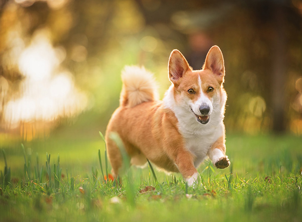 red and white corgi running through sunlit field in northamptonshire