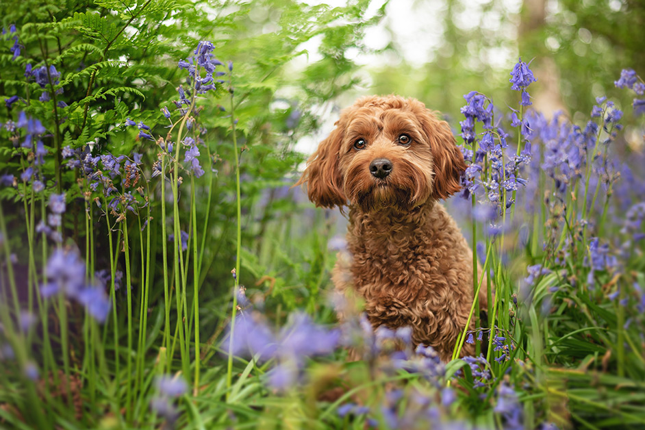 red-cockapoo-standing-in-spring-bluebell-woods-coventry