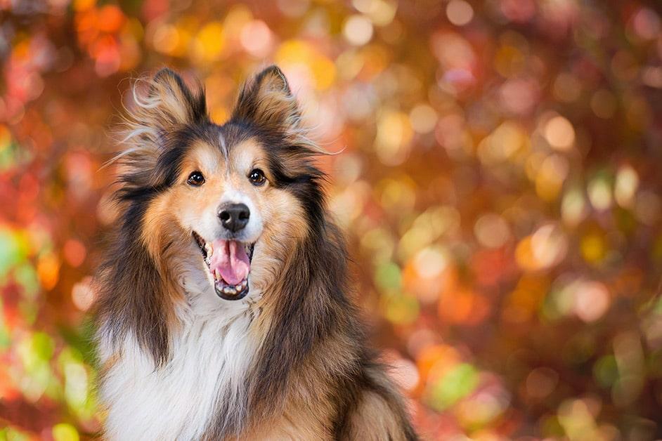 shetland-sheepdog-portrait-in-colourful-summer-leaves