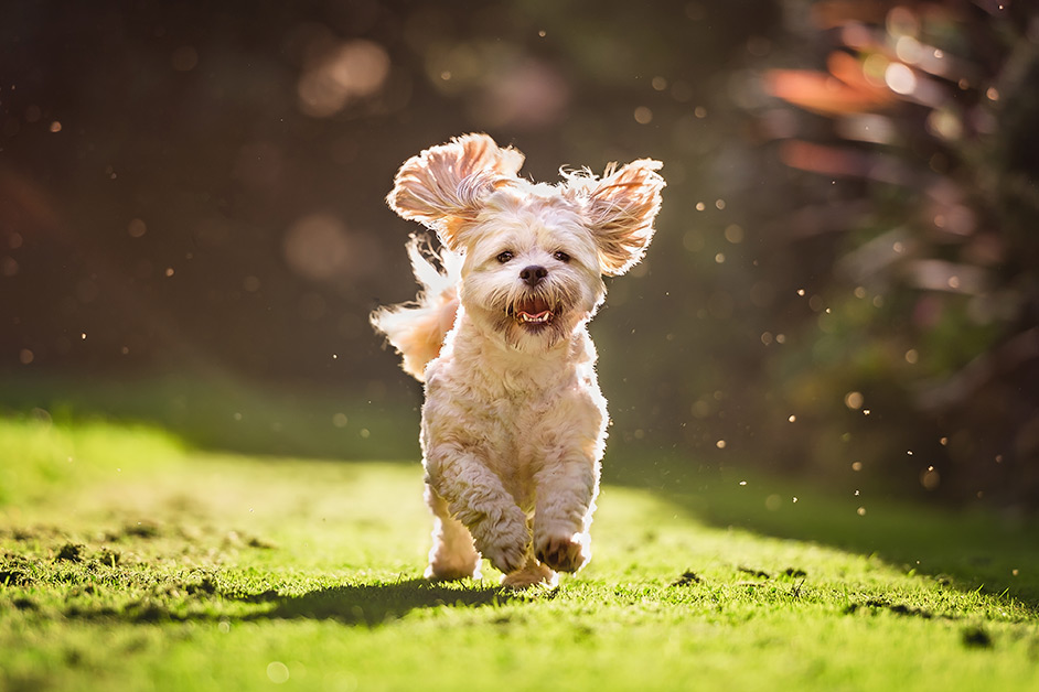 shih-tzu-puppy-running-through-summer-field
