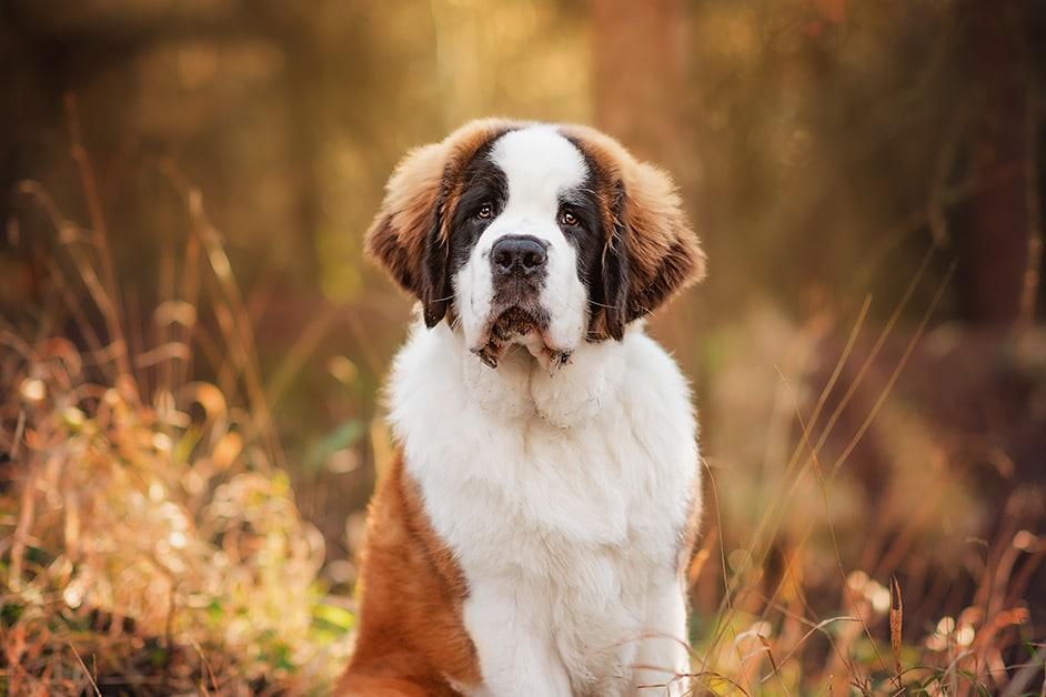 st-bernard-puppy-portrait-photography