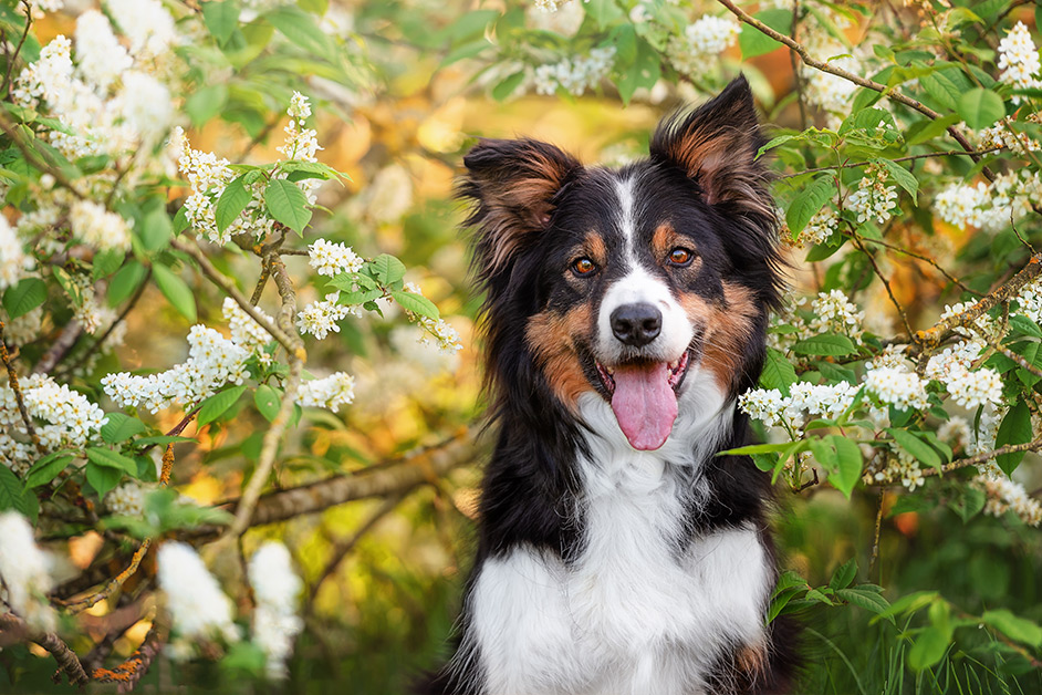 tri-colour-border-collie-in-spring-blossom-bush