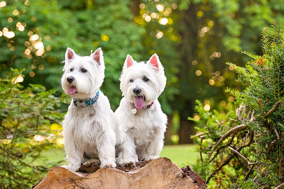 two-white-westies-sitting-on-log-in-northampton-park