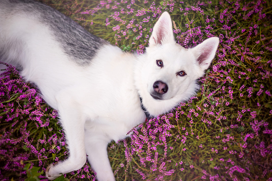 white-husky-mix-laying-in-heather