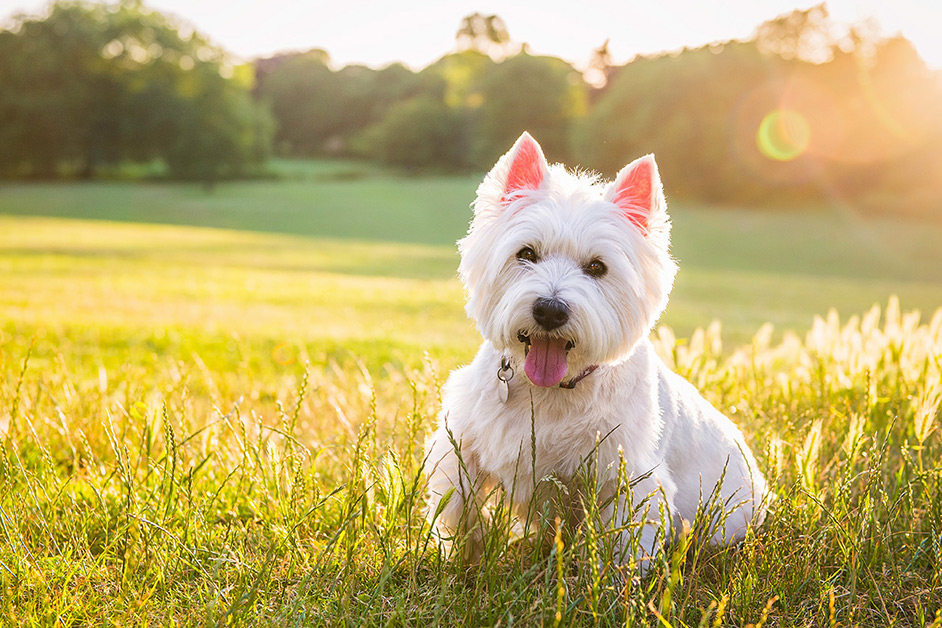 white-westie-sitting-in-northampton-park