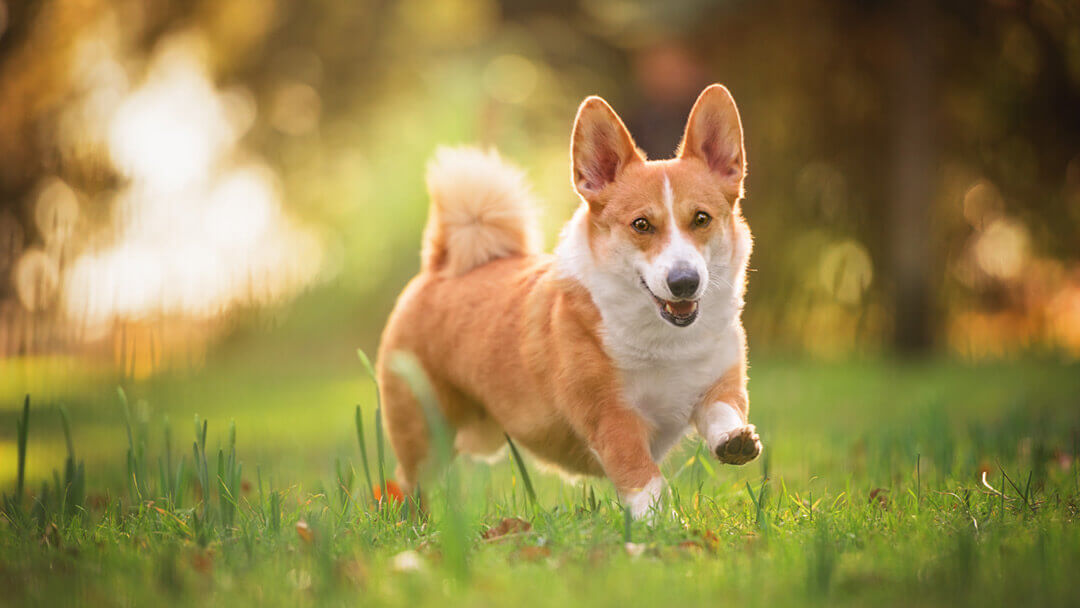 corgi-running-through-sunny-field