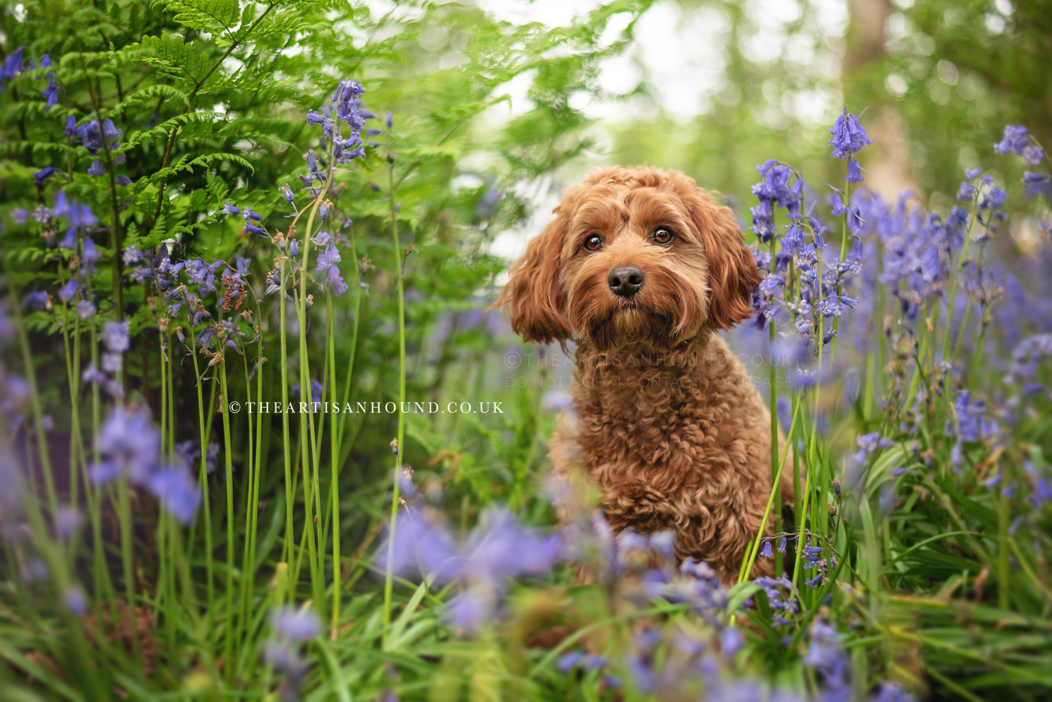 Cockapoo dog photography in Coventry woodland