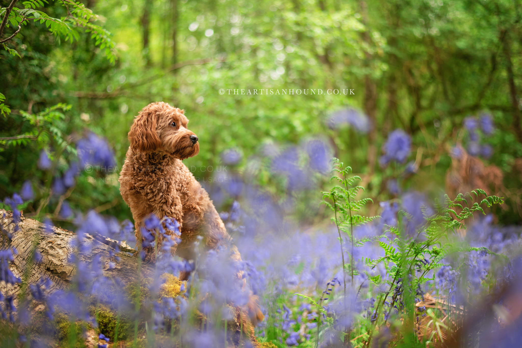 Cockapoo dog standing on log in bluebell woods