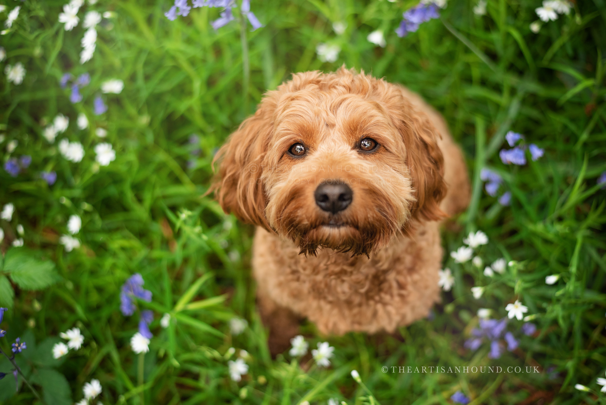 cockapoo-looking-up-at-camera-in-grass