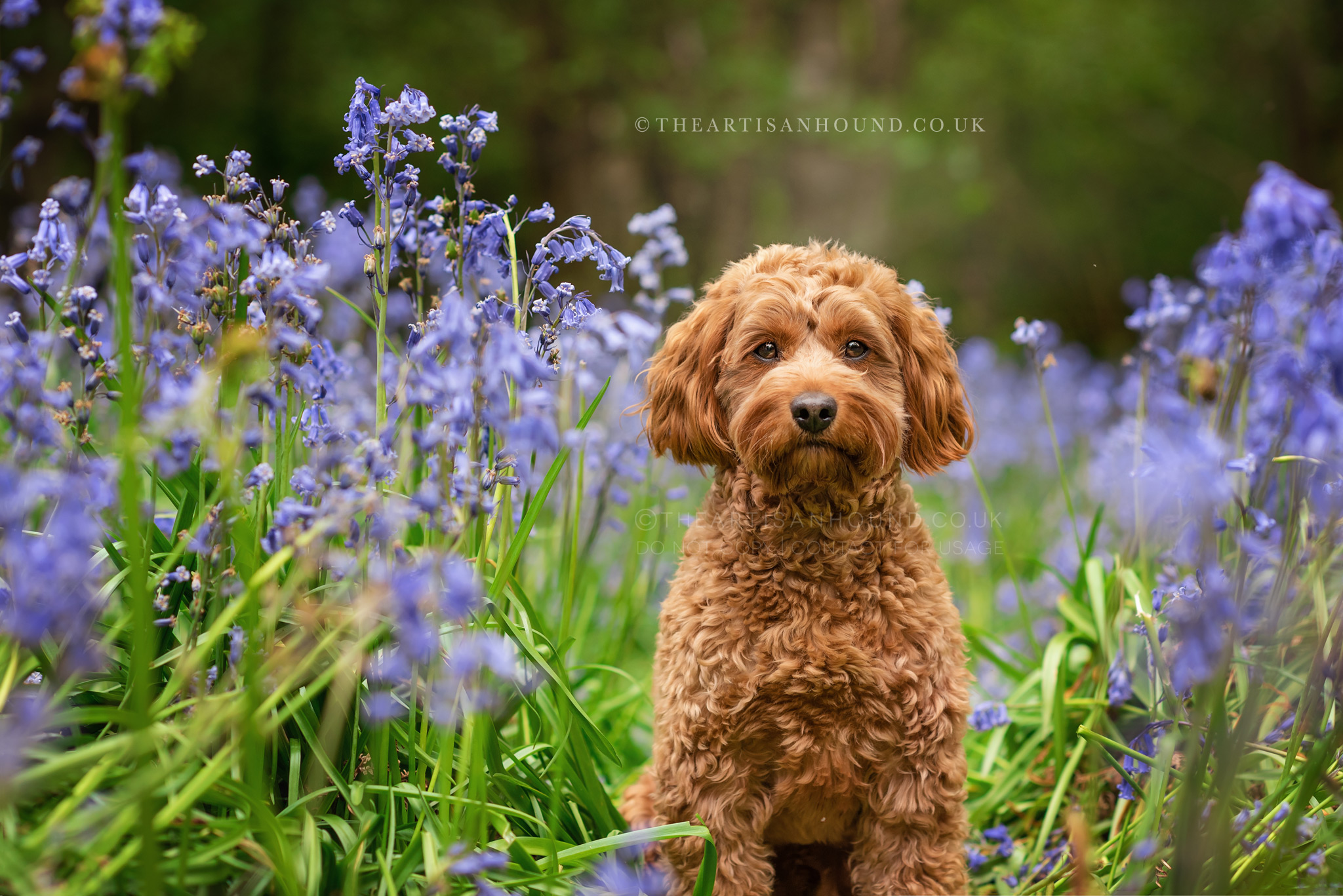 Cockapoo portrait photo in bluebells