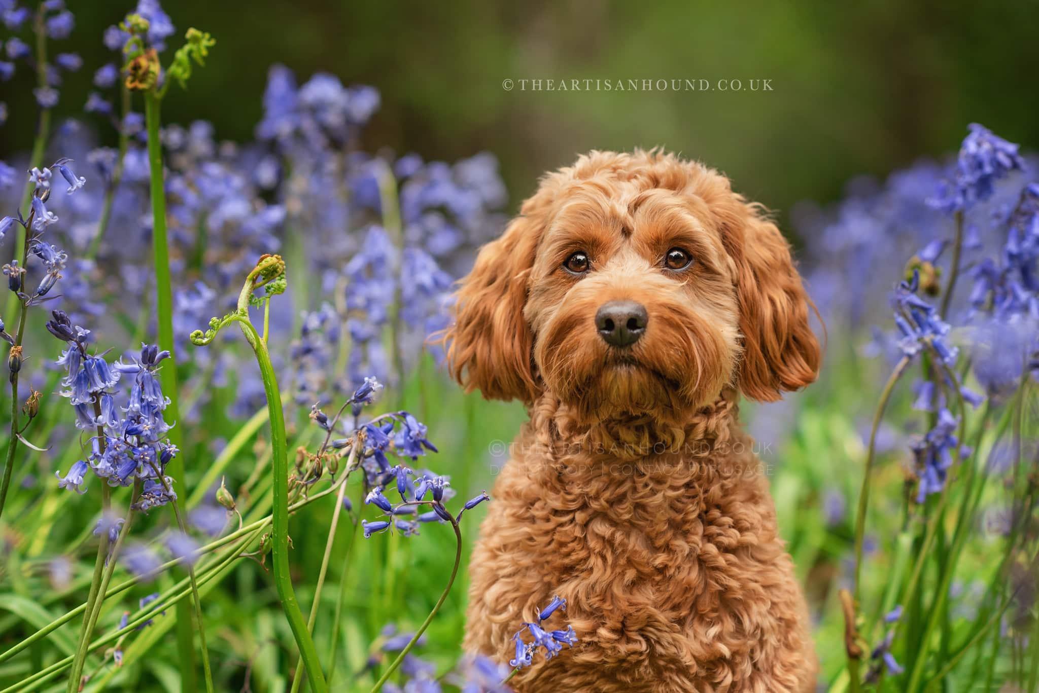 cockerpoo-portrait-photo-in-bluebells