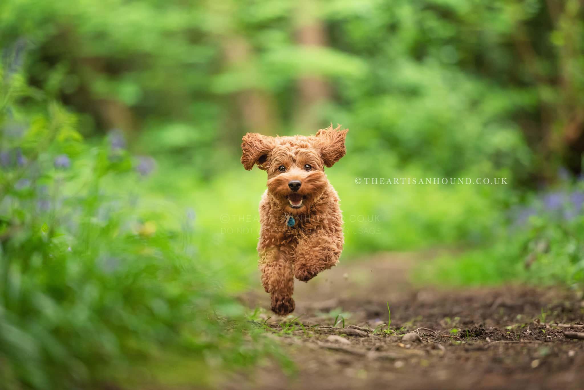 ginger-cockerpoo-running-through-woods