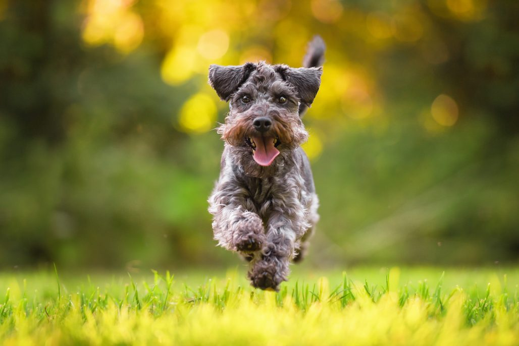 Miniature Schnauzer dog running in Northamptonshire field