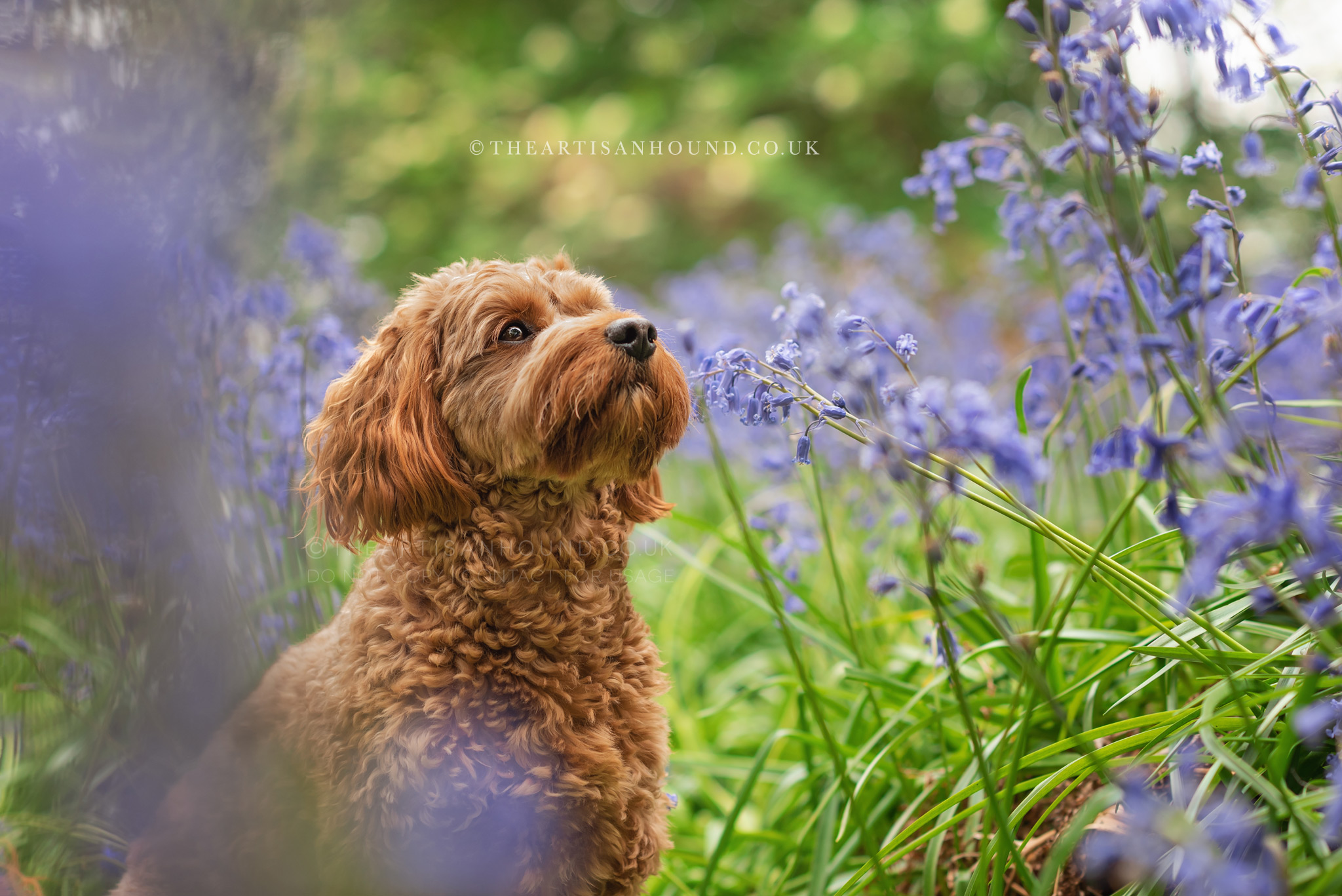 Red cockapoo in bluebells