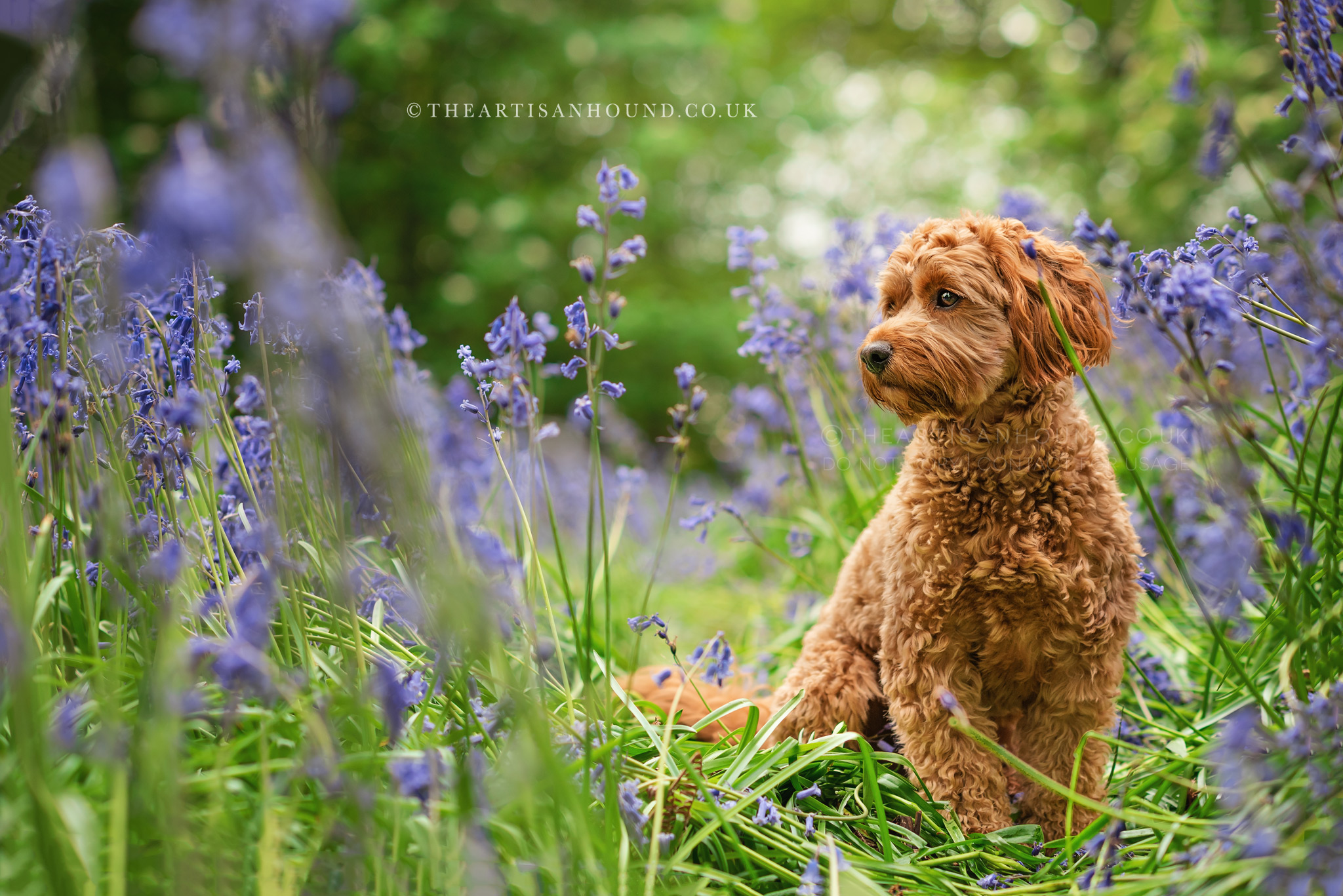red-cockerpoo-sitting-in-bluebells