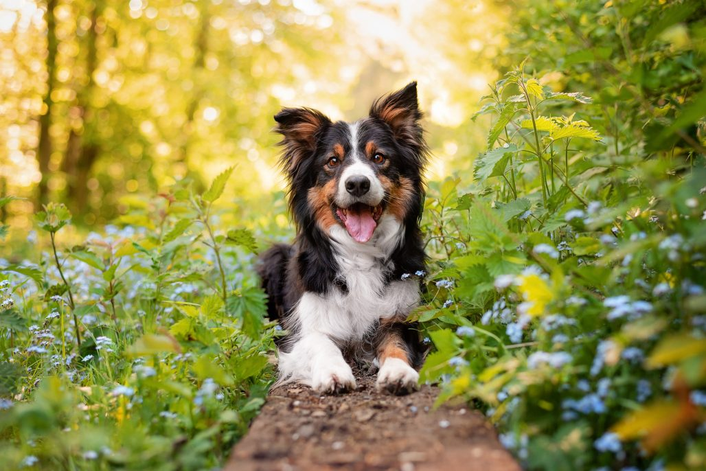 Tri-coloured border collie sitting in spring flowers
