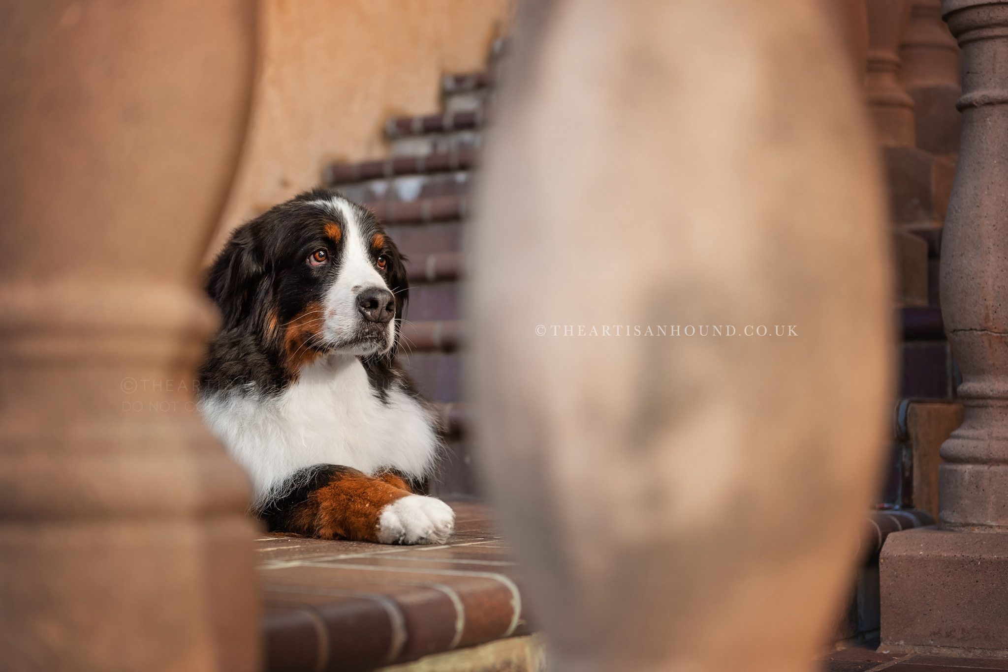 Bernese mountain dog sitting on steps