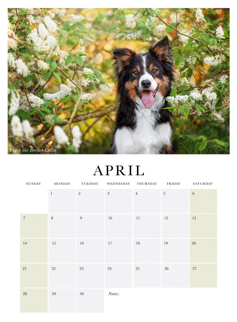 April page from 2019 photo calendar featuring a Border Collie dog