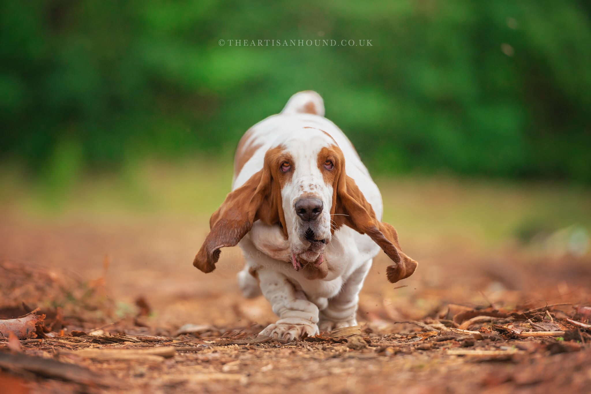bassett-hound-running-towards-camera