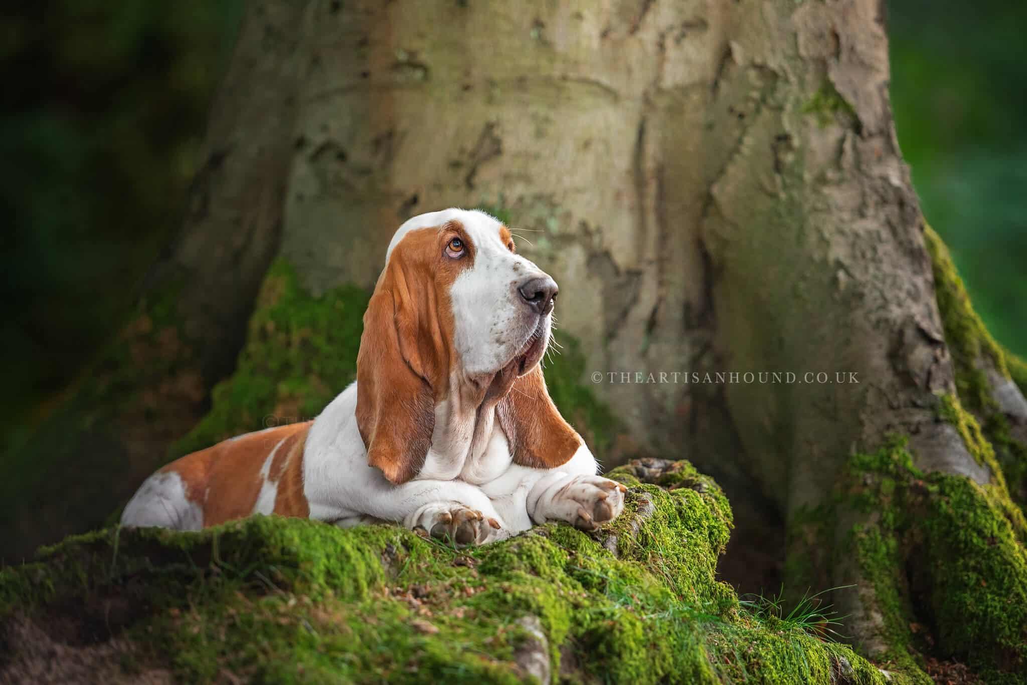 Bassett Hound sitting on tree root