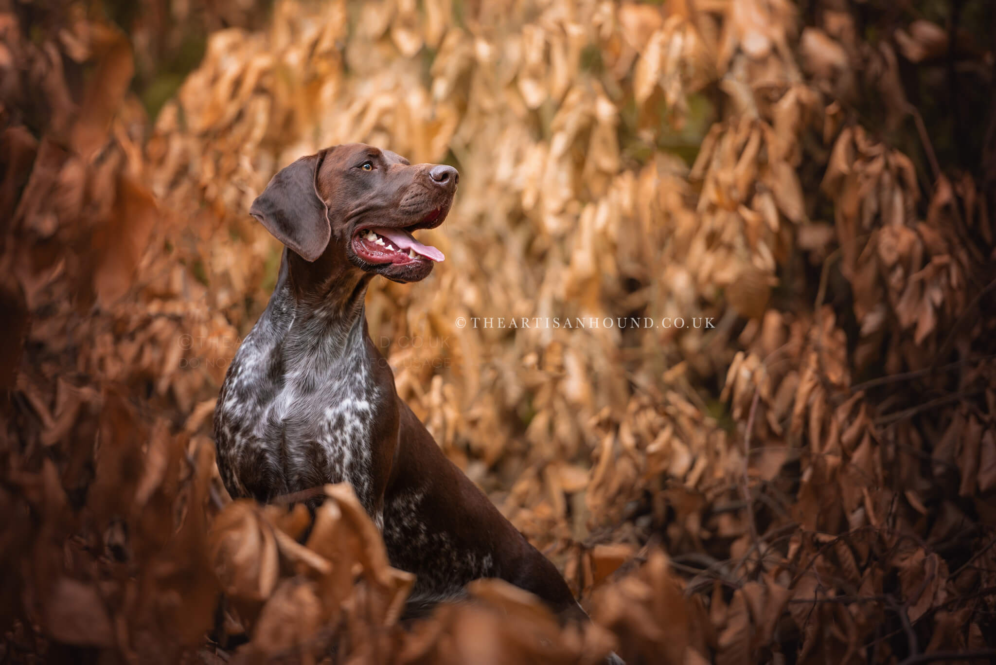 brown-gsp-dog-in-autumn-leaves