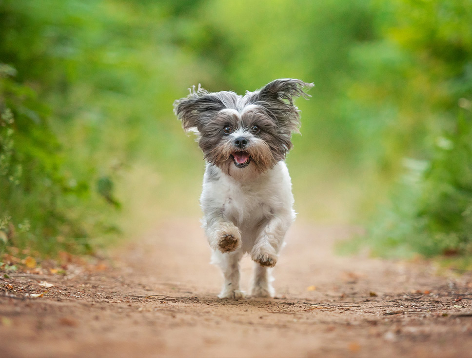 Crossbreed dog running through Northamptonshire woodland