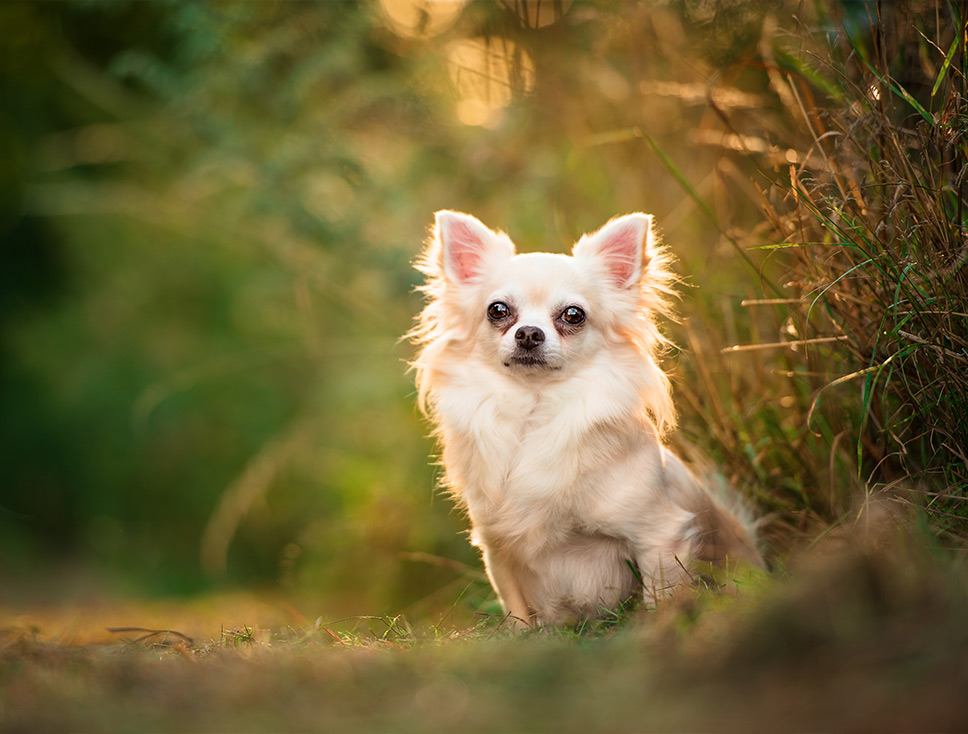 Long haired Chihuahua sitting in Northampton field