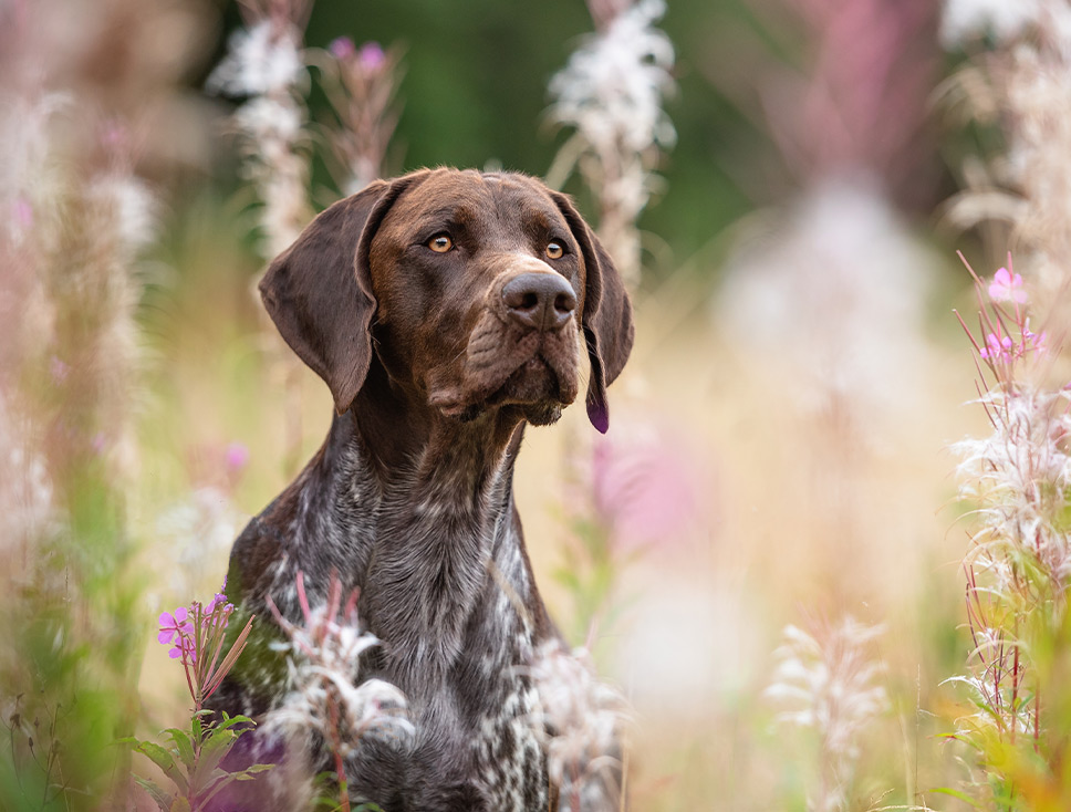 German Shorthaired Pointer in meadow flowers at Harlestone Firs