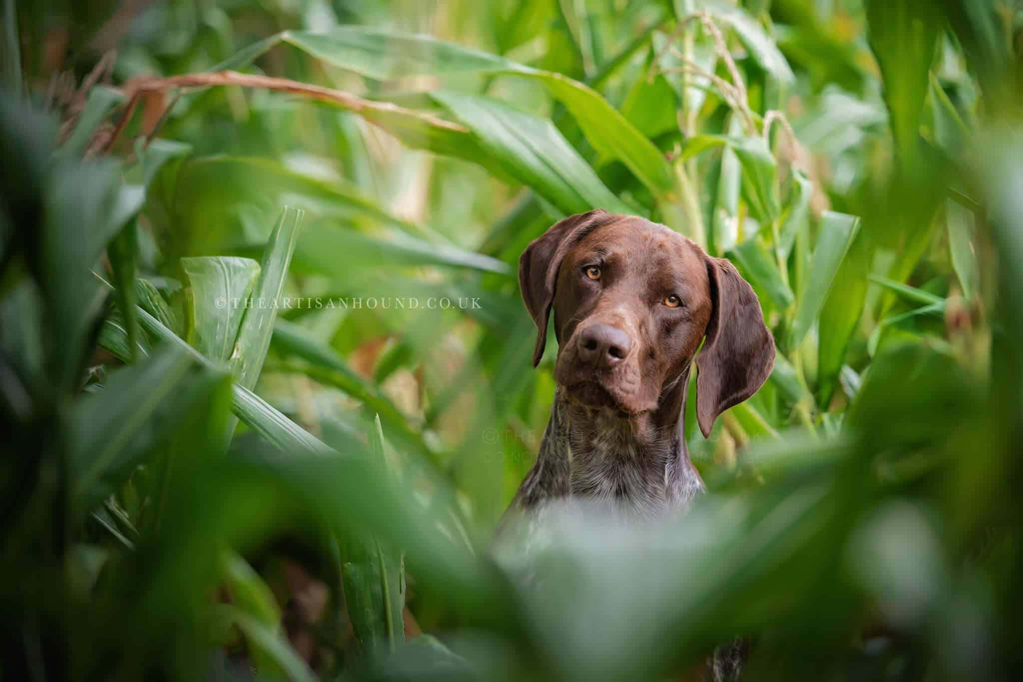 GSP portrait photo in corn field