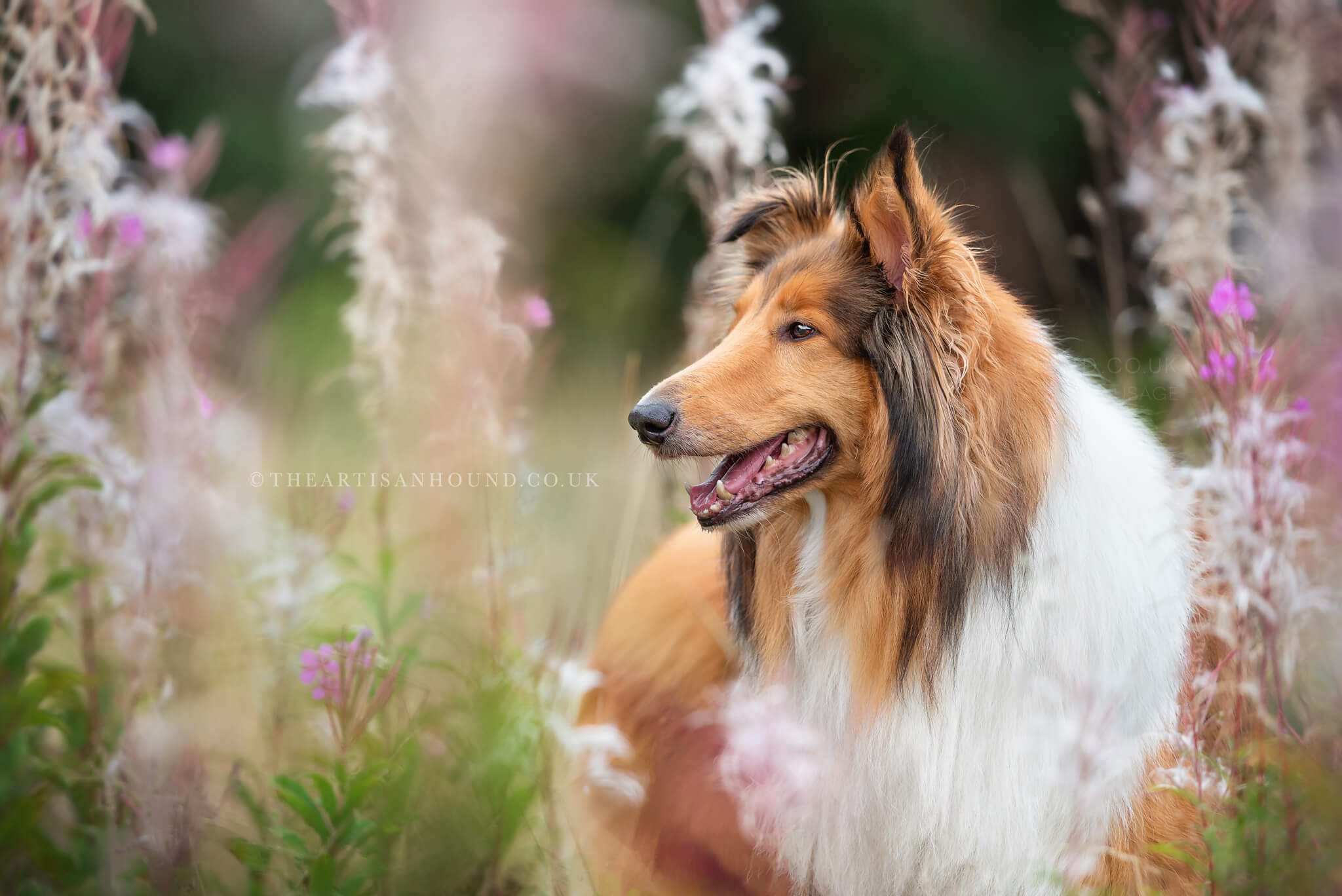 portrait of Collie dog in flowers