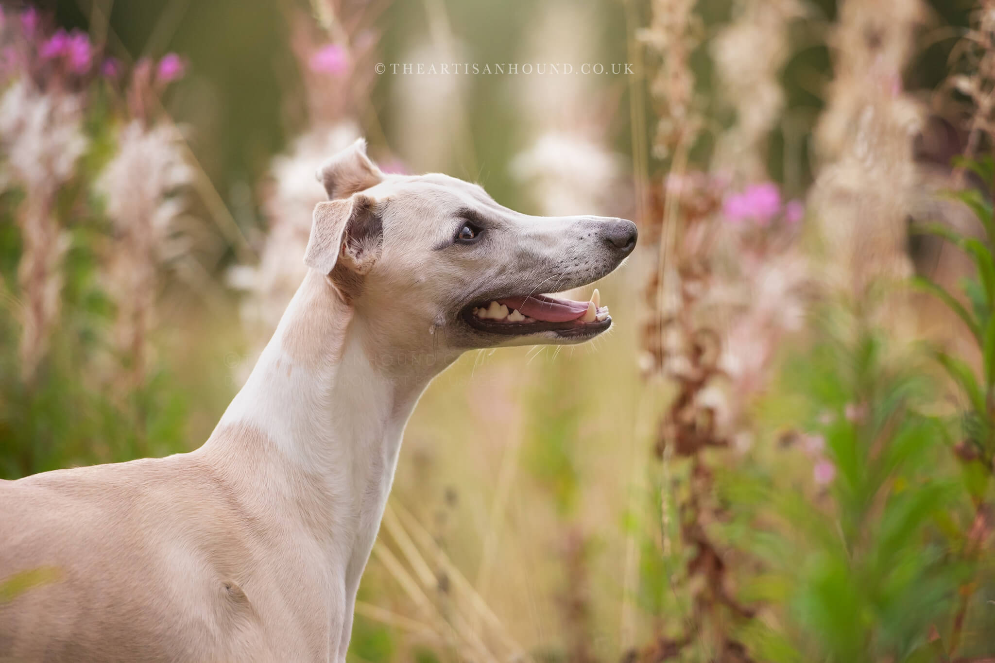 portrait photograph of Whippet