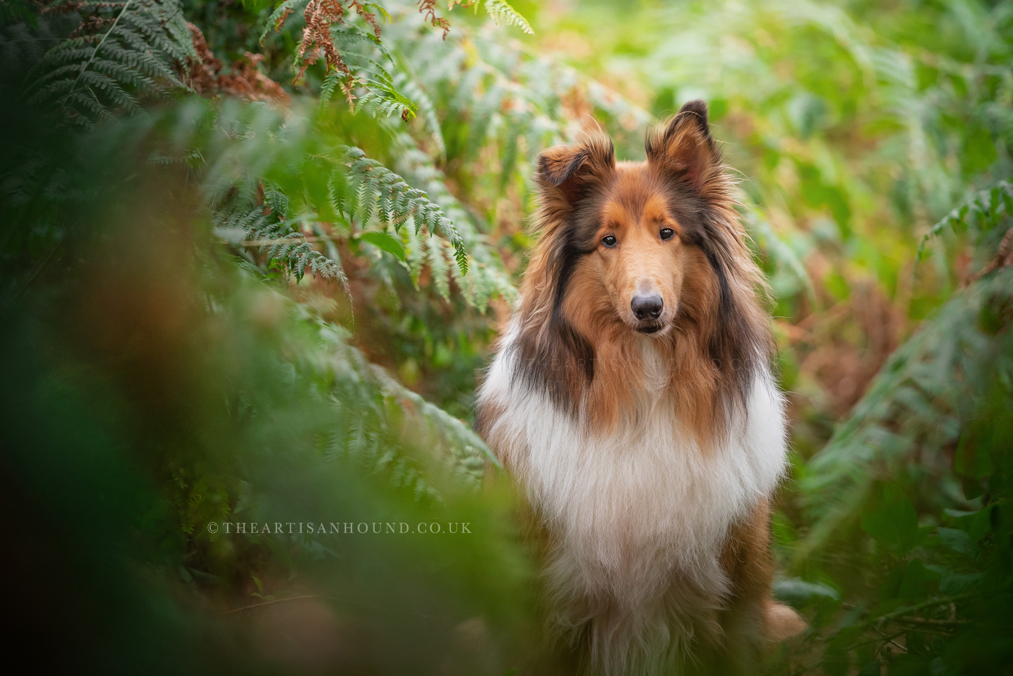 Rough Collie dog photography