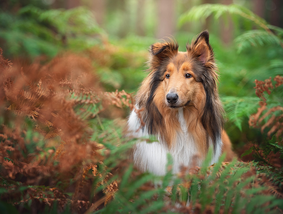 Rough Collie standing in ferns