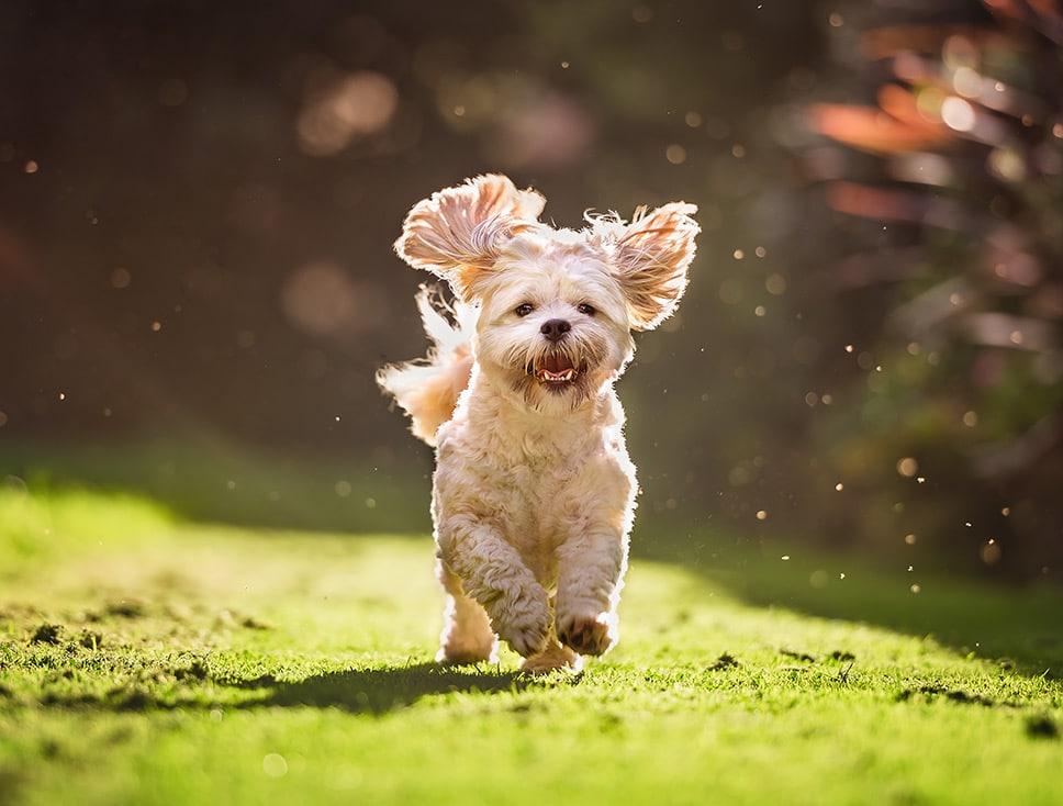 shih-tzu-puppy-running-on-delapre-abbey-lawn