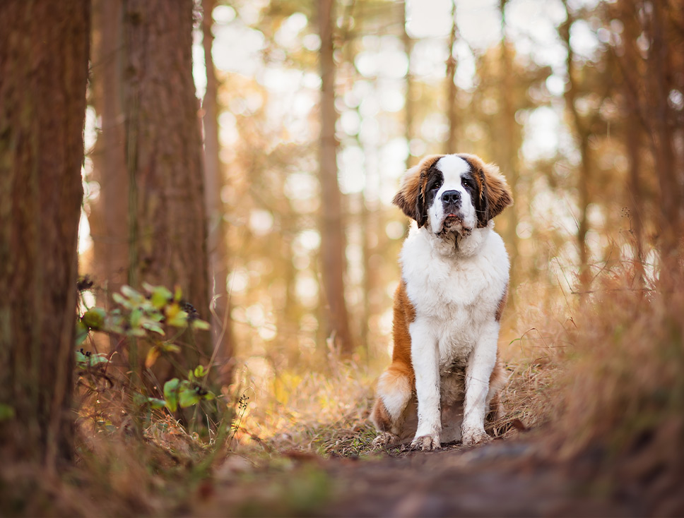 St Bernard puppy sitting on woodland path in Irchester Country Park