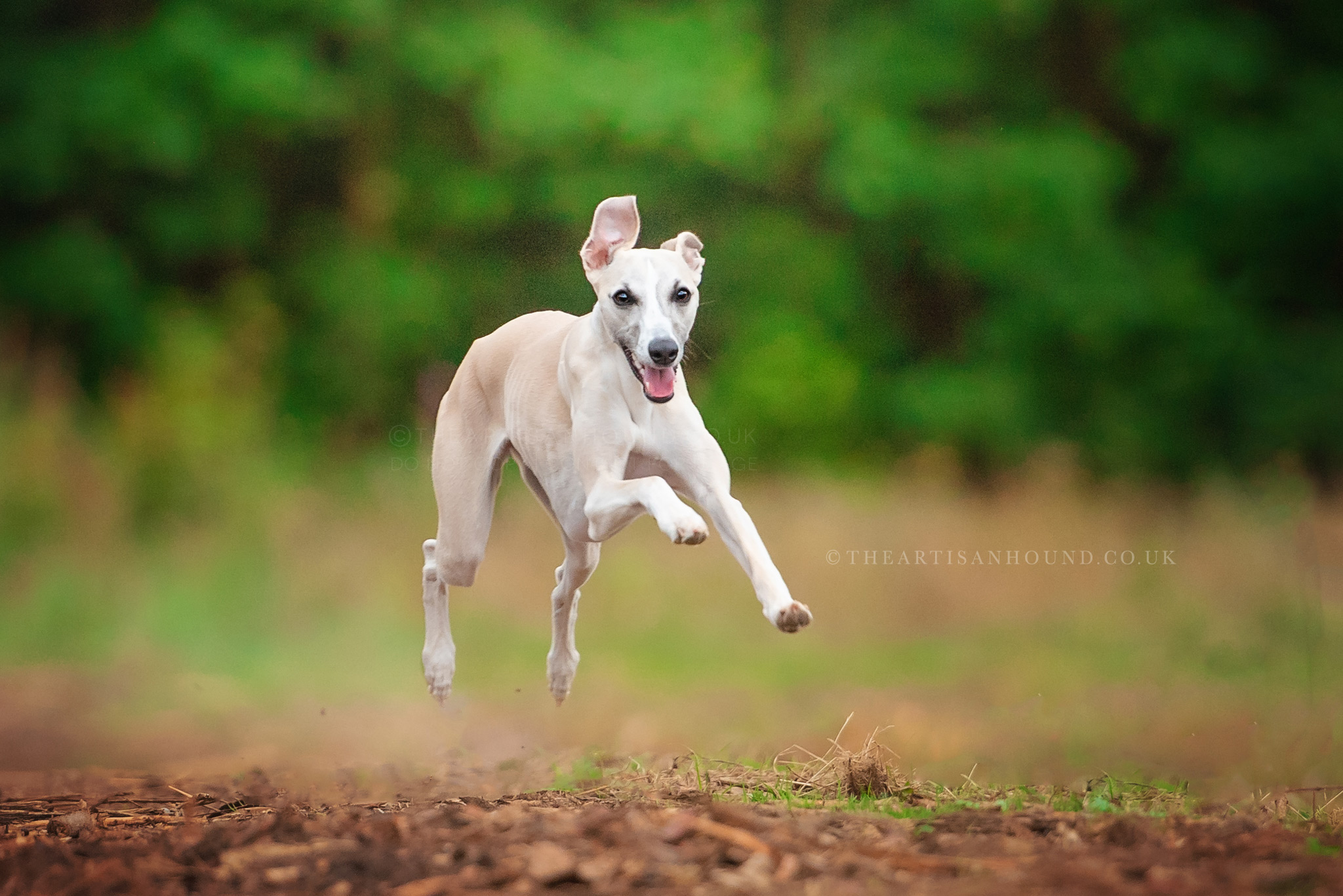 Whippet running towards camera